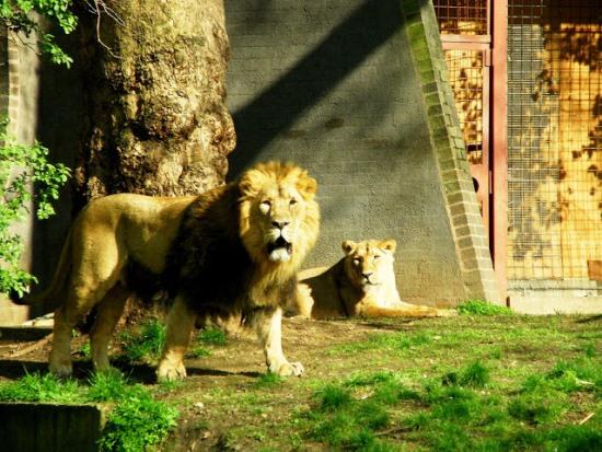 Львы в Лондонском зоопарке
